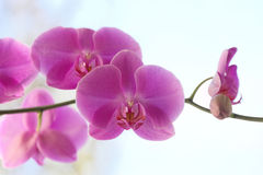 Pink orchid phalaenopsis flowers Royalty Free Stock Image
