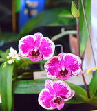 Pink Orchid Phalaenopsis Stock Photo