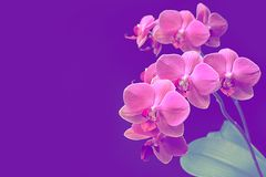 Pink orchid phalaenopsis on purple background. Branch of orchid. Bouquet stock image