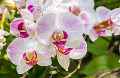 Pink orchid, Phalaenopsis. Stock Images