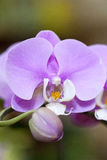 Pink orchid, phalenopsis. Beautiful pink orchidea in detail. blossoming Royalty Free Stock Photography