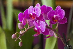 Pink orchid, phalenopsis. Beautiful pink orchidea in detail. blossoming Stock Photo