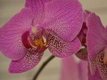 Pink orchid. Picture of the pink orchids Stock Photos