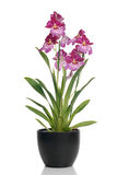 Pink orchid in a pot Royalty Free Stock Image