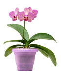 Pink orchid in the pot Royalty Free Stock Image