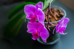 Pink orchid. In a pot Royalty Free Stock Photo
