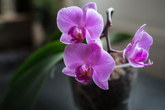 Pink orchid. In a pot Stock Photos