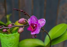 A pink orchid in a pot, against a background of dark boards. Natural background and design element royalty free stock images