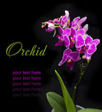 Pink orchid in the pot Royalty Free Stock Images