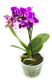 Pink orchid in the pot isolated Royalty Free Stock Images