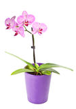 Pink orchid in the pot isolated on white Stock Photography