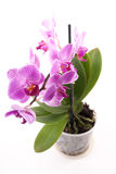 Pink orchid in pot on white background Royalty Free Stock Photo