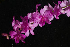 Pink orchid in rain drop Stock Images