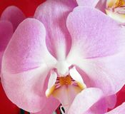 Pink orchid, gentle flower. Stock Photo