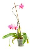 Pink orchid. Room flower in transparent flowerpot. Isolated on white background royalty free stock images