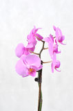 Pink orchid, spa time. Pink flowers orchid on a white background Stock Photos
