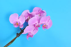 Pink orchid, spa time. Pink flowers orchid on a blue background Royalty Free Stock Images