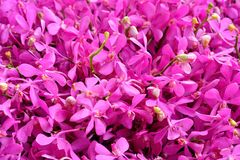 Pink Orchid. The orchid species Thailand In Orchid largest Stock Images