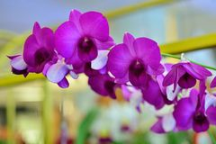 Pink Orchid. Stock Images