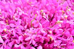 Pink Orchid. The orchid species Thailand In Orchid largest Royalty Free Stock Photo