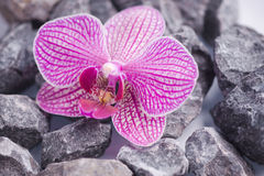 Pink orchid with stones Royalty Free Stock Photography