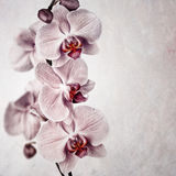 Pink orchid vintage Royalty Free Stock Photography