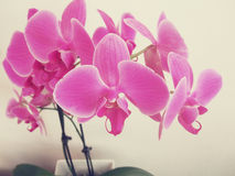 Pink orchid. Vintage looking hot pink orchid in a pot Stock Images