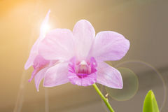 Pink orchid. With warm light Royalty Free Stock Image