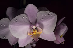 Pink orchid. With water drops and yellow centre Stock Photos