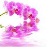 Pink orchid water reflection Royalty Free Stock Photo