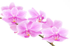 Pink orchid on white background. A branch of a pink orchid with water drops on its petals, isolated on white background Royalty Free Stock Image