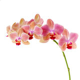 Pink orchid on white Stock Image