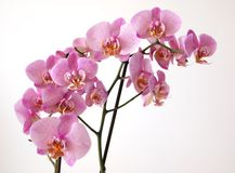 Pink Orchid Stock Image