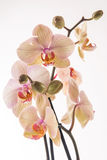 Pink orchid. On white background Royalty Free Stock Photography