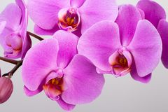 Pink orchid  on white background. Closeup. Royalty Free Stock Photography