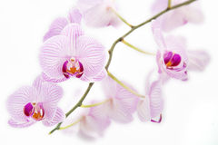 Pink Orchid on a white background Stock Photos