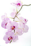 Pink Orchid on a white background Stock Images