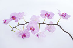 Pink Orchid on a white background Royalty Free Stock Images
