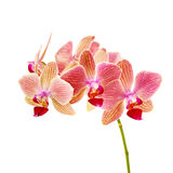 Pink orchid on white background isolated Stock Images