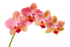 Pink orchid on white background isolated Royalty Free Stock Image