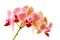 Pink orchid on white background Royalty Free Stock Images
