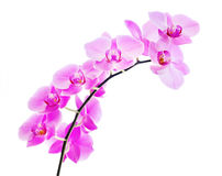 Pink orchid on a white background Royalty Free Stock Photography