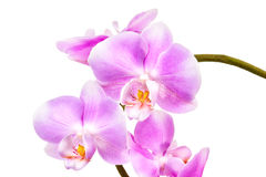 Pink orchid on white background isolated Royalty Free Stock Photography