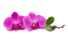 Pink orchid on the white background. Stock Photos