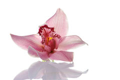 Pink orchid on white background Stock Images