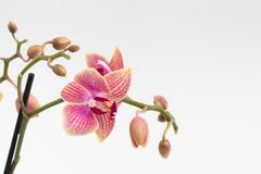 Pink orchid on white Stock Images