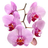 Pink orchid on white Stock Photography