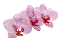 Pink orchid on white Royalty Free Stock Image