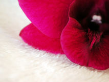 Pink Orchid on white fur 2. Close up of a dark pink orchid flower on a white surface stock image