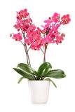 Pink orchid in a white pot with many flowers Stock Image